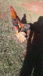Vendo galos indios e galinhas e franguinho  indio puro boa raça troko por som automóvel tb