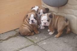 Lindos Filhotes Bulldog Inglês