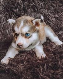 Título do anúncio: Husky Siberiano filhotes