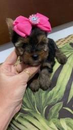 Yorkshire terrier micro- fêmea e macho disponível