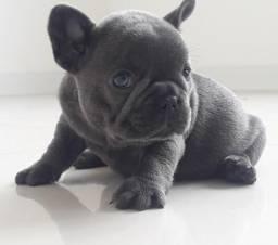 Bulldog francês blue exótico