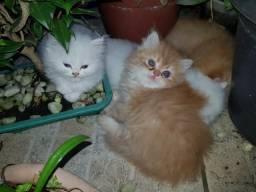 Filhotes de Gato Persa 50 DIAS - Puros