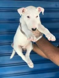 Bull Terrier Inglês 11 2670-7784/11 2670-7791