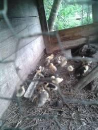 Angolistas filhotes e Patinhos