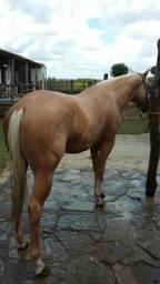 Cavalo QM Puro com 2 anos e 6 meses de idade