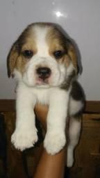 Filhotinhos de Beagle ( leia a descrição )