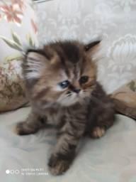 Vende filhotes de gatos persa puros