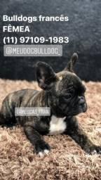 Mini Bulldog Francês Fêmea