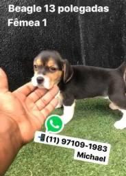 Beagle 13 Polegadas Com Petigree