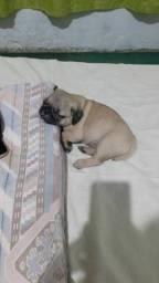 Título do anúncio: Filhotes de Pug (divido no cartão)