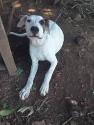 filhote fêmea Dogo argentino