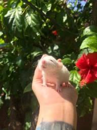 Ratinho de laboratório Twister