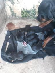 Reserve seu filhote da raça rottweiler