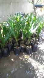Mudas de mamao coco abacate
