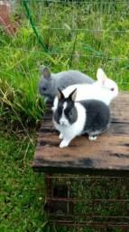 Mini coelho Netherland