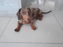Cachorrinha Arlequim