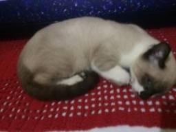 Doação de Gatos Sianês 4 meses de Nascido Não tenho Como Cuida deles por q eu trabalho