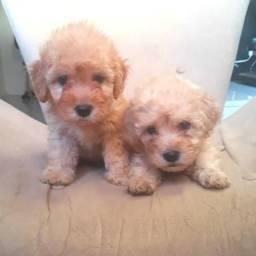 Lindos bebês de poodle em até 10x