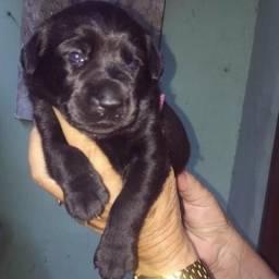 Filhote Fêmea Labrador 150 reais