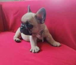 Lindos Filhotes Bulldog Francês