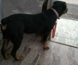 Rottweiler 7 meses