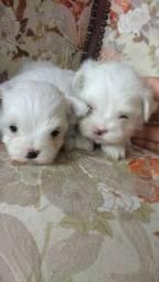 Mini maltês dois perfeitos machinhos branco neve raridade encontrar