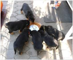 Bebês de Rottweiler com linhagem exclusiva só aqui!!