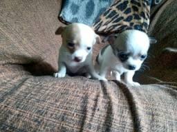 Título do anúncio: Chihuahua mini