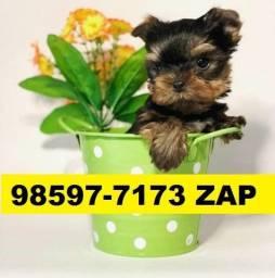 Canil Filhotes Cães BH Yorkshire Poodle Bulldog Lhasa Beagle Maltês Shihtzu
