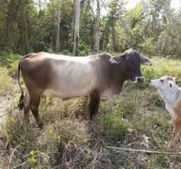 Título do anúncio: Vacas Leiteiras