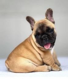 Bulldog francês (machinho) 12x 250,00 cartão