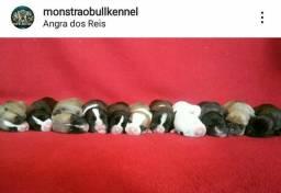 Bully x Pitbull filhotes caprichados ein