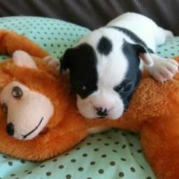 Bulldog Francês Lindo!