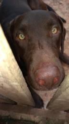 Labrador americano macho disponível para cruzar