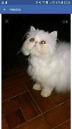 Gato persa show promocao