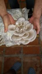 Kits para produção de cogumelos (composto incubado)