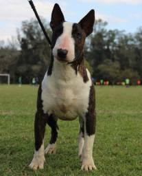 Bull Terrier inglês