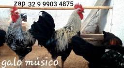 Ovos galados férteis da raça galo músico cantor para incubação natural ou artificial =