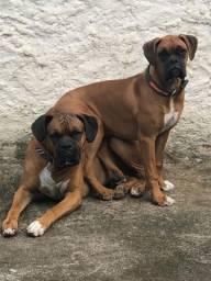 Filhotes Cachorro Boxer
