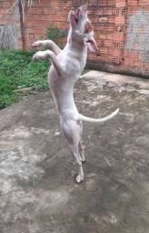 Cachorra fêmea (Pitbull)pura