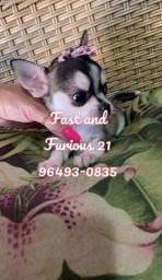 Chihuahua fêmea de Pêlo curto. Vacinada e com pedigree *Parcelamos no cartão*