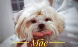 Título do anúncio: Filhote de Shih Tzu Macho Puro