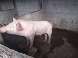Porco 4 pernil Reprodutor e Porca casco de burro