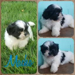 Shih Tzu macho mini