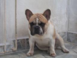 Bulldog Francês blue fawpied
