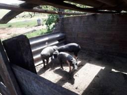Vendo 7 porco todos na ração