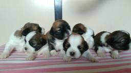 Lhasa apso cães ja estão disponíveis