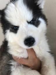 Vende-se filhote de husck siberiano wooly.
