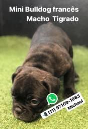 Mini Bulldog Francês Macho Tigrado