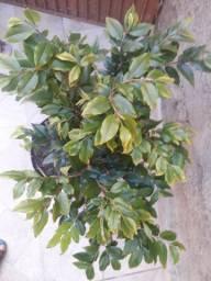 Vendo 1 linda muda de jabuticabeira logo produz